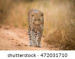 a leopard walking towards the... | Shutterstock . vector #472031710