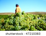White grapes for excellent  wine - stock photo