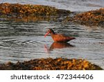 a black oystercatcher ... | Shutterstock . vector #472344406