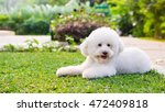 White Toy Poodle In The Park