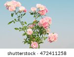 Stock photo pink rose flowers on the rose bush in flower garden in the morning with mountain and clear blue sky 472411258