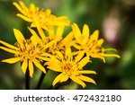flower ligularia dentata...   Shutterstock . vector #472432180