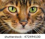 portrait of cat rare toyger...