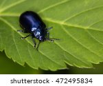 Small photo of Macro photography of an insect (Oreina cacaliae)