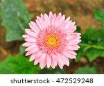 Flower  Gerbera   Barberton...