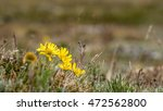 Small photo of Alpine Sunflower (Hymenoxys grandiflora)