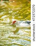domestic duck swim on lake | Shutterstock . vector #472572370