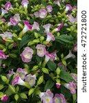 pink wishbone flower   Shutterstock . vector #472721800