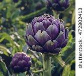 Purple Ripe Globe Artichoke In...
