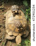 Small photo of African Spurred Tortoise.