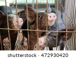 pig in stable | Shutterstock . vector #472930420