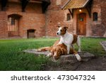 Dog Jack Russell Terrier And...
