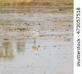 little egret  egretta garzetta  | Shutterstock . vector #473057518