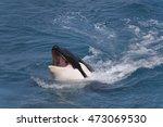 Head Of Killer Whale  Orcinus...