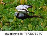 beautiful bird  pheasant tailed ... | Shutterstock . vector #473078770