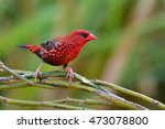 Small photo of Beautiful Red Bird, Red Avadavat (Amandava amandava) perching on a branch taken in Thailand