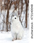Small photo of Snowshoe hare (Lepus americanus) sitting in the snow in winter
