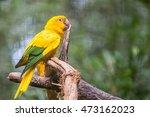 Golden Conure Parrot  Guaruba...