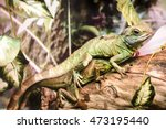 Small photo of Two Chinese water dragons (Physignathus cocincinus), an agamid lizards, sitting on each other