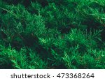 Small photo of bright green thuja tree for background image. Arborvitae Plantae Pinophyta Pinopsida Pinales Cupressaceae