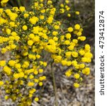 Small photo of Bright yellow fluffy fragrant flowers of Acacia pulchella, prickly moses, a shrub in family Fabaceae endemic to Western Australia adds cheerful hues to the Wireless Hill nature reserve in Perth.