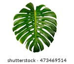 monstera isolated on white... | Shutterstock . vector #473469514