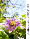 Passion Flower  Passiflora...