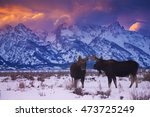 Two Bull Moose Stand Under The...