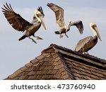 brown pelicans landing on... | Shutterstock . vector #473760940