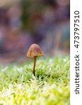 Small photo of Hallucinogenic mushroom Psilocybe semilanceata