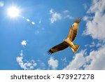 black kite  milvus migrans ... | Shutterstock . vector #473927278