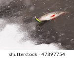 Perch being pulled out of water to snowy shore. Released after taking photo - stock photo