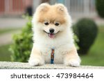 Pomeranian Dog In A Park. Dog...