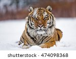 Amur Tiger Is Looking To The...