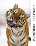 Close Up Frame Of Amur Tiger...