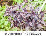 Purple Basil Growing In An...