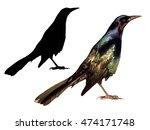 grackle bird isolated on white... | Shutterstock . vector #474171748
