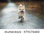 Stock photo running dog in rain 474176683