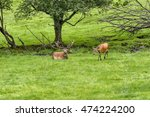 herd of mother elk with... | Shutterstock . vector #474224200