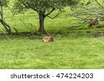 herd of mother elk with... | Shutterstock . vector #474224203