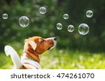 Stock photo puppy jack russell playing with soap bubbles in summer outdoor 474261070