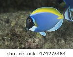 Small photo of Close up portrait of a cute curious tropical offshore coral reef fish, a Powderblue surgeonfish (Acanthurus leucosternon), in the popular holiday destination of the Maldives Islands