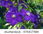Blooms Clematis Blue Purple...