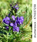 Small photo of Aconitum napellus,monk's-hood, aconite, wolfsbane, is a species of flowering plant in the genus Aconitum of the family Ranunculaceae. Styria, Austria.