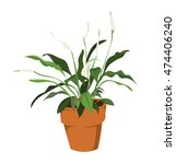 Potted Peace Lily.