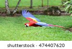 macaw in flight over field in... | Shutterstock . vector #474407620