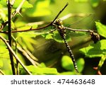 Large King Dragonfly In A...
