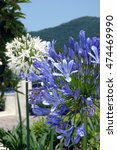 Small photo of White and blue agapanthus flowers