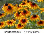 Black Eyed Susan Flower In...