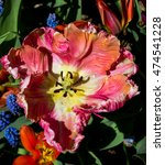 Small photo of Screen Full Closeup of a Single Vivid Hued Ruffled Tulip Splayed Against a Green Garden Background